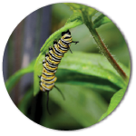Monarch Butterfly as a worm